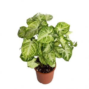 گیاه سینگونیوم سبز