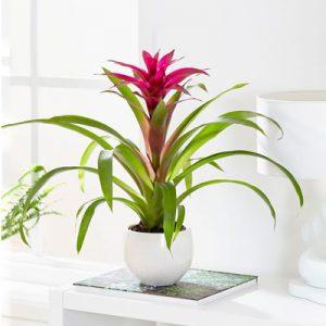 گیاه گازانیا
